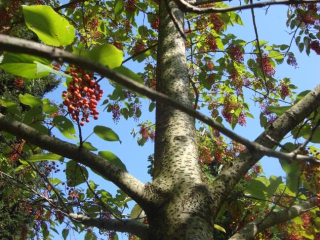Winterthur Igiri Tree Oct. 9 2011