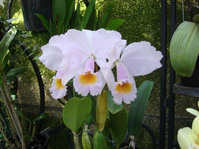 Longwood orchids 31