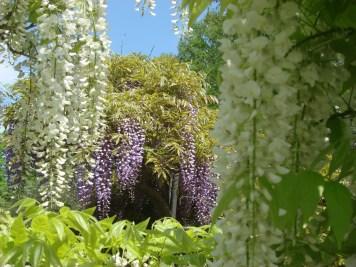 Wisteria Arbor, Longwood Gardens, 2011-05