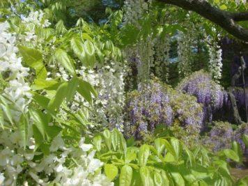 Wisteria Arbor, Longwood Gardens, 2011-13