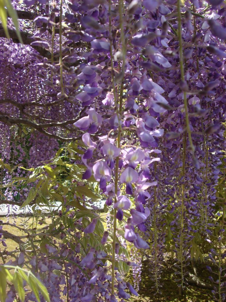 Wisteria vine arbor- Longwood, PA-09