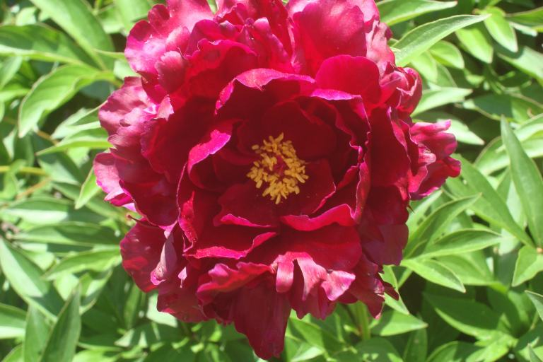 Peonies, Winterthur May 22 2015-14