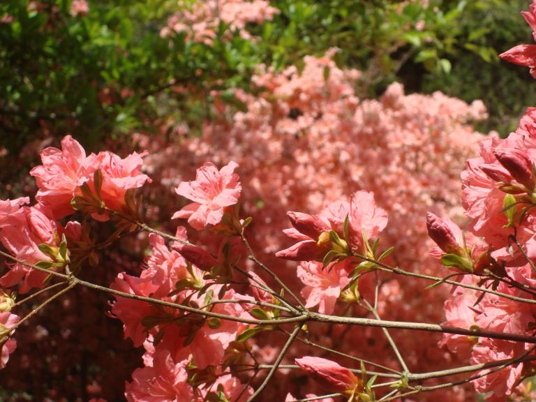 Winterthur's azaleas May 2013-11