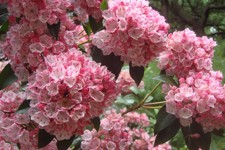 Mountain laurel Mt. Cuba June 2015-4