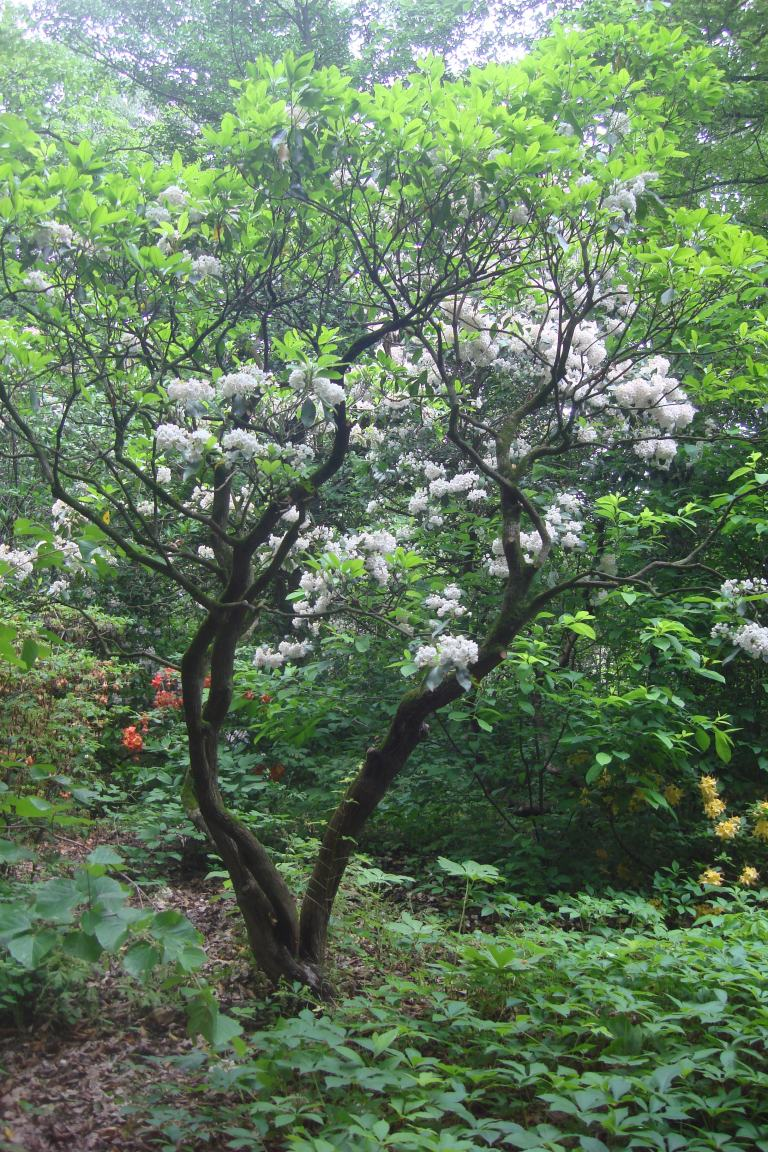 Mountain laurel Mt. Cuba June 2015-6