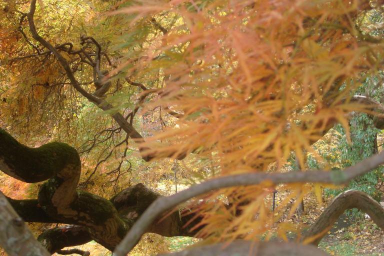 Japanese maple Winterthur October 2015-2 - Copy