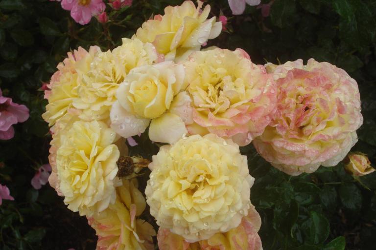 ny-botanical-gardens-bronx-roses-mid-june-2015-42