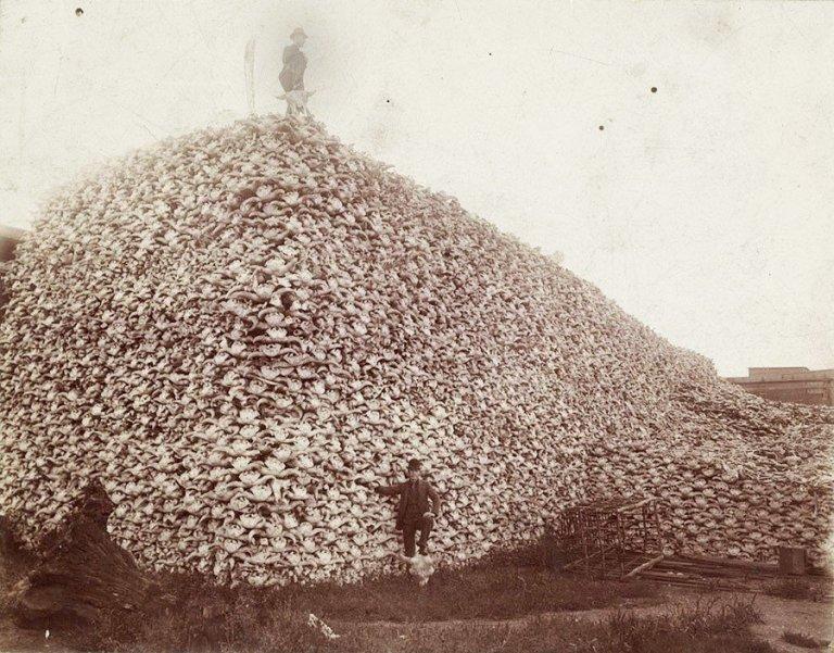 buffalo-slaughter