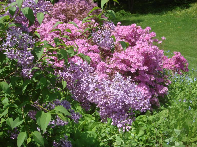 Lilac and azalea, Winterthur, May 2013