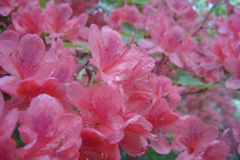 Azaleas Winterthur May 2015-06
