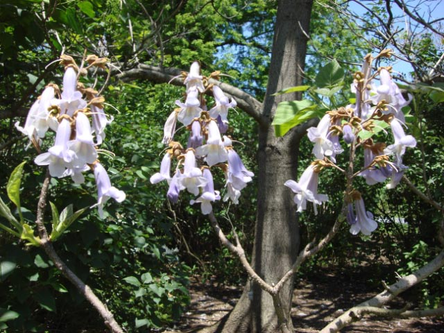 Empress Tree 1 (Paulonia)
