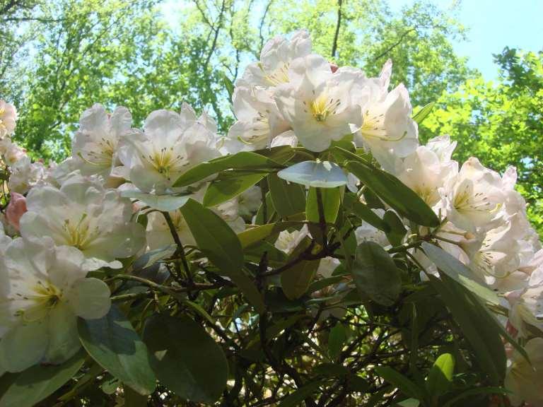 Rhododendrons, Winterthur, DE-34