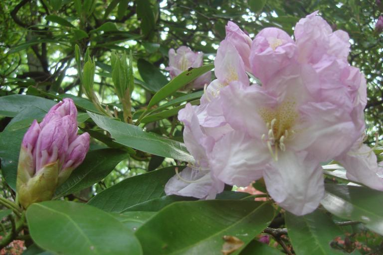 Rhododendrons Winterthur May 2015-09