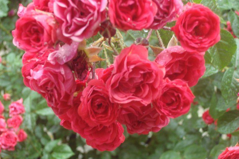 NY Botanical Gardens Bronx Roses Mid-June 2015-57