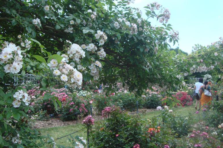 Roses Brooklyn Botanical Garden June 2015-116