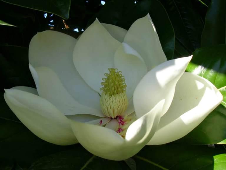 Magnolia-grandiflora-Southern-Magnolia3