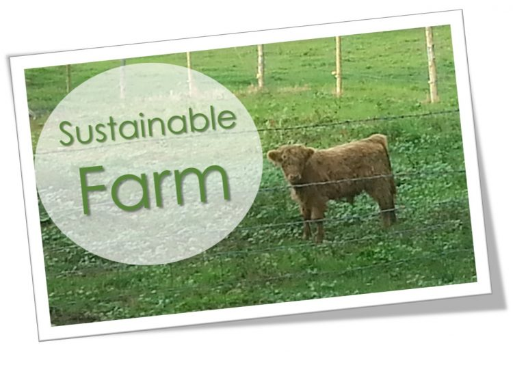Calf grazing in a field - Sustainable farming