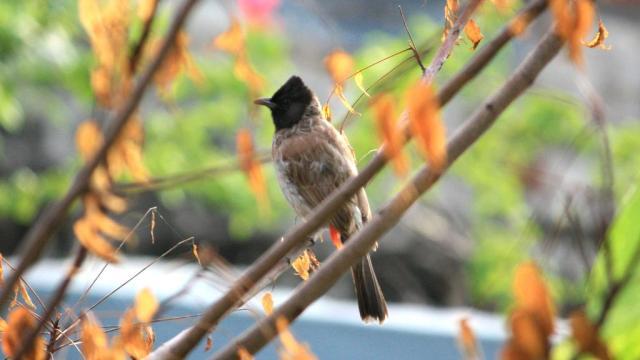 Bulbul - Birding Diary - 1