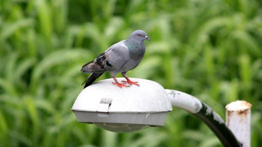 Pigeon - Birding Diary - 1