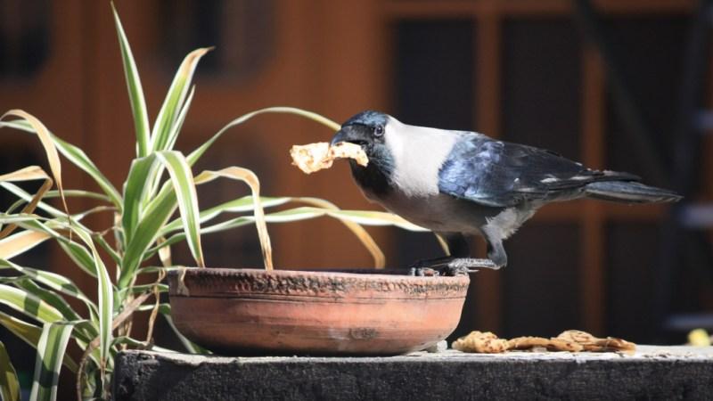 Crow - Birding Diary - 1