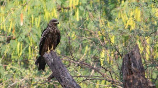Kite - Birding Diary - 2