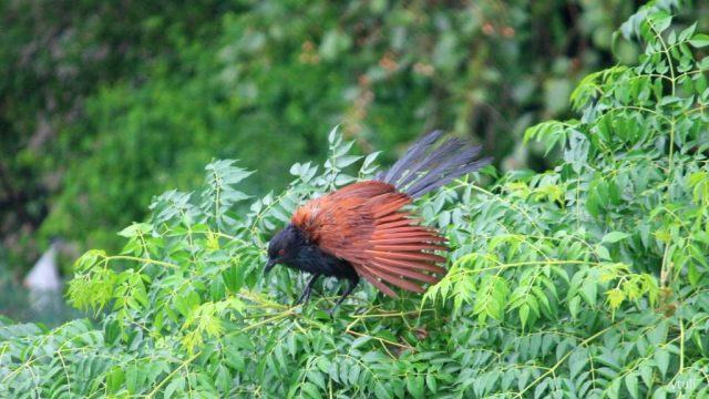 Coucal - Birding Diary - 2