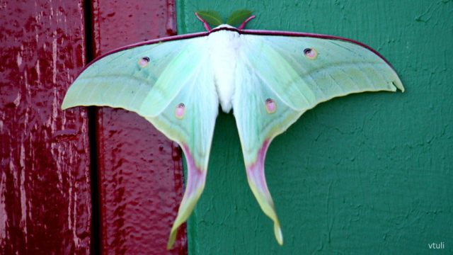 The Indian Moon Moth