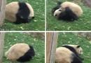 Видео: Панда тренируется делать кувырок.