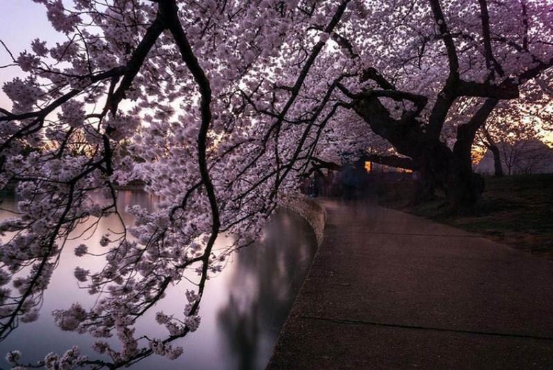 National-Geographic-cvetenie-sakuri-vinegret (13)