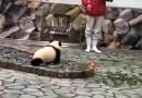 Видео: Малыш панды «нападает» на оператора.