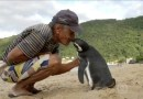 Невероятная дружба пингвина и человека.
