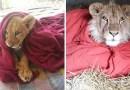 Спасенный лев не может спать без одеяла, несмотря на то, что он уже давно вырос.