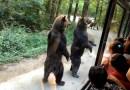Видео: Медведи необычно выпрашивают еду у туристов.