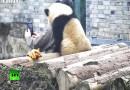 Видео: Маленький детеныш панды делает селфи.
