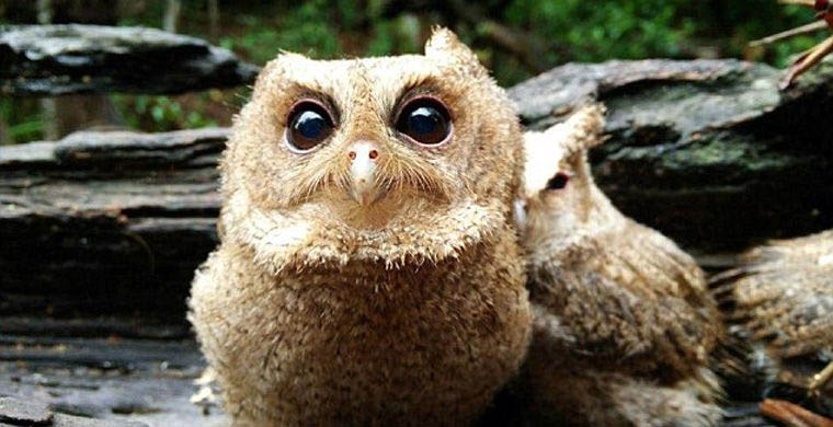 The-rescued-owlets-who-conquered-millions-of-Chinese-vinegret (3)