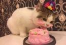 Этого кота на день его рождения побаловали очень вкусным тортом.