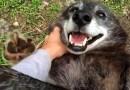 Видео: Счастливому волку чешут  живот.