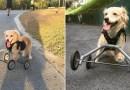 Двулапая собака, оставленная предыдущими хозяевами, наконец получила любовь… и пару колес. [Видео]