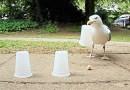 Видео: Смышленая чайка играет в «наперстки».