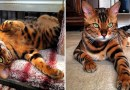 Тор — бенгальский котик с потрясающе красивым мехом.
