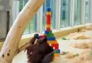 Видео: Орангутанг строит башню из Lego.