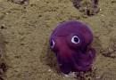 Видео: На глубине 900 метров был обнаружен кальмар-коротыш со смешными глазенками.