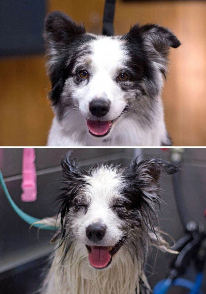 wet-dogs-before-after-bath-vinegret (11)