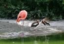 10 фотографий уток, которые думают, что они фламинго.