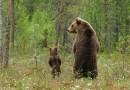 20 восхитительных фотографий мам-медведиц со своими маленькими медвежатами.