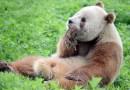 Единственная в мире коричневая панда, брошенная в детстве, наконец обрела свое счастье.