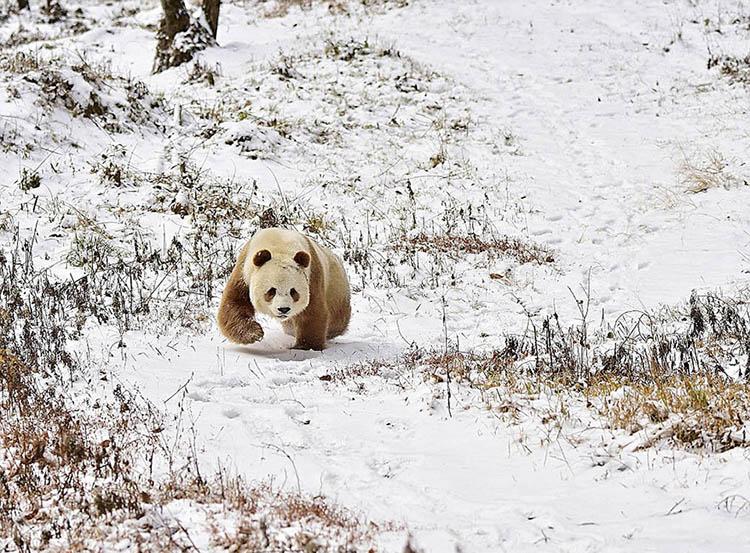 abandoned-brown-panda-qizai-vinegret-9