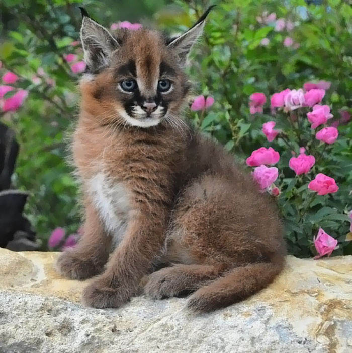cute-baby-caracals-vinegret-10