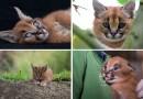 10 фотографий удивительно милых детенышей степной рыси.