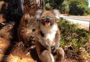 Видео: Смешные коалы не могут поделить дерево.